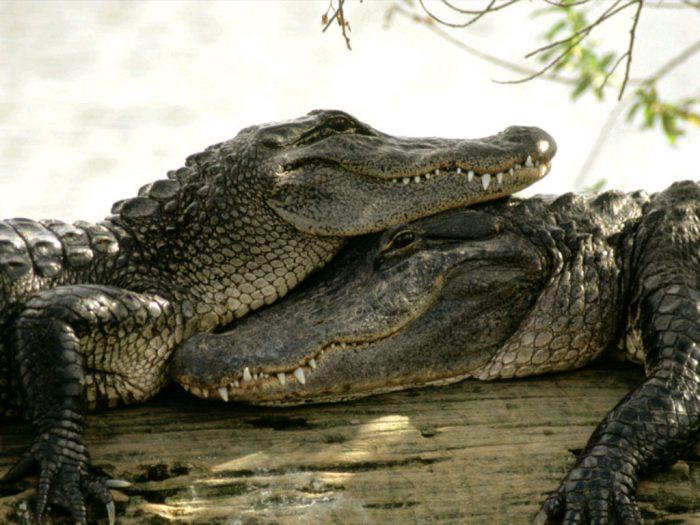 крокодилы для акб