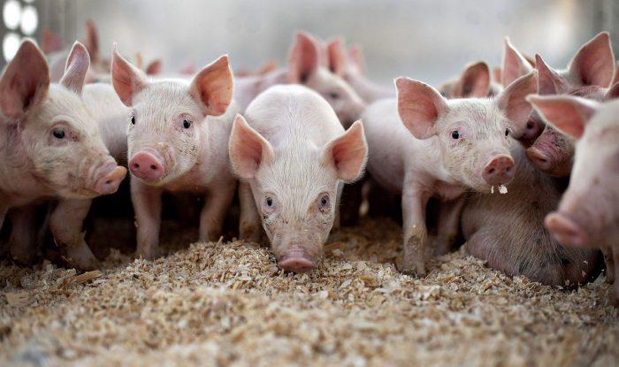 прицеп купава для свиней